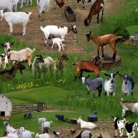 Farm Animals - Goats - Product Image